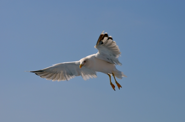 Gull on a hunt