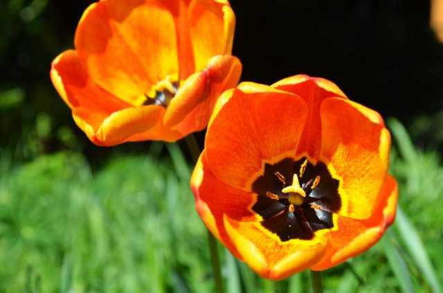 Tullip in spring
