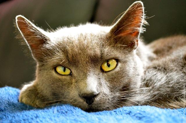 Cat resting on blue blanket