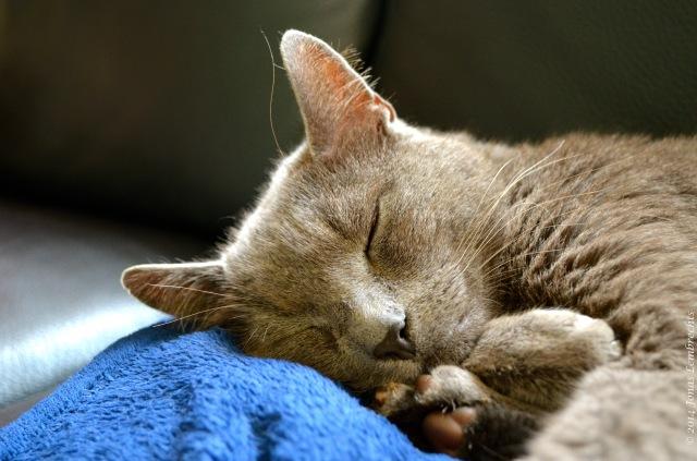 Cat sleeping on blue blanket