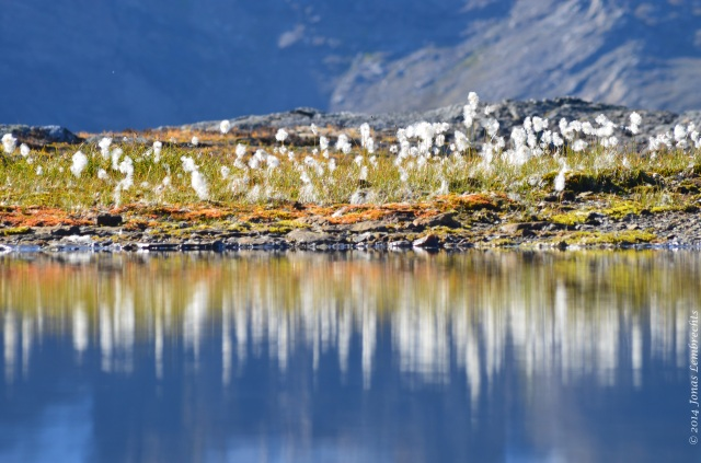 Cotton grass on lake shore in mountains