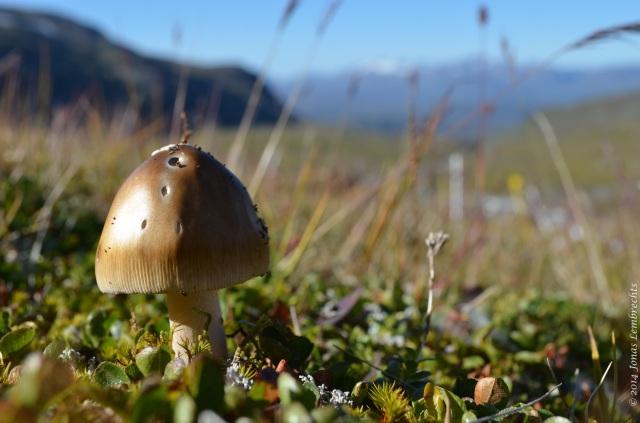Mountain mushroom