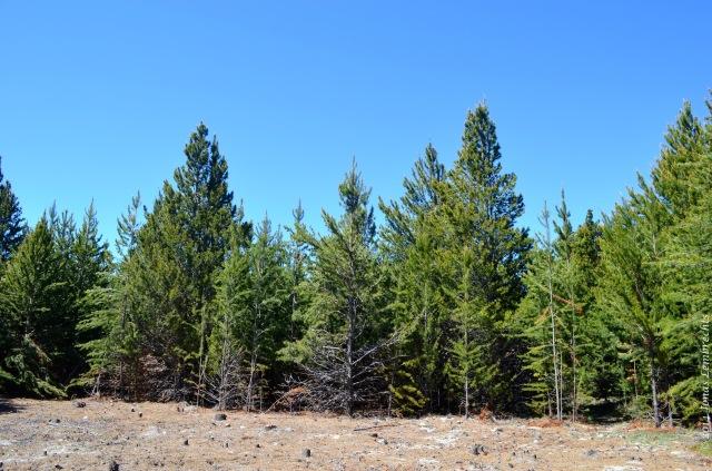 Pine management
