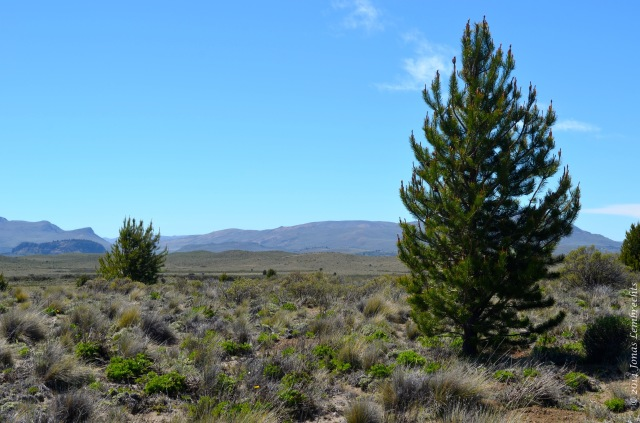 Steppe invaded by pines
