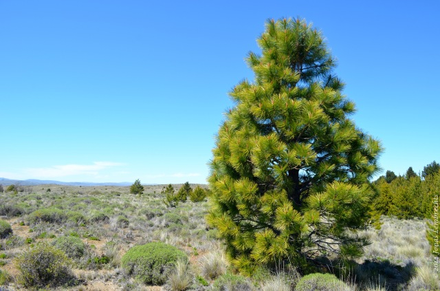 Pine in invaded steppe