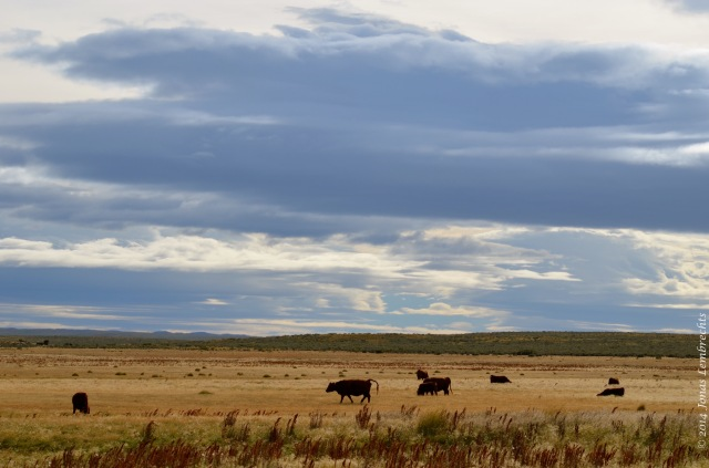 Cows in Patagonia