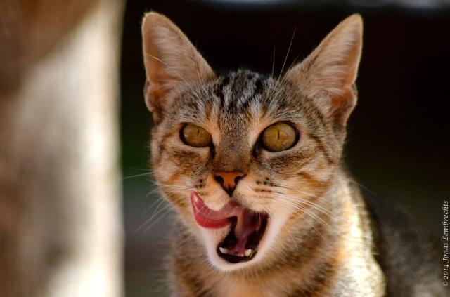 Spanish feral cat