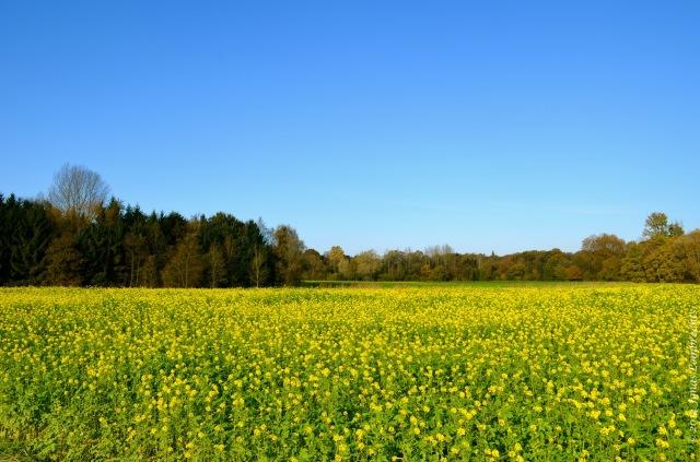 Mustard on field