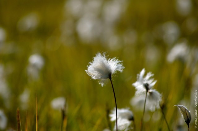 Cotton grass (Eriophorum vaginatum) in a meadow