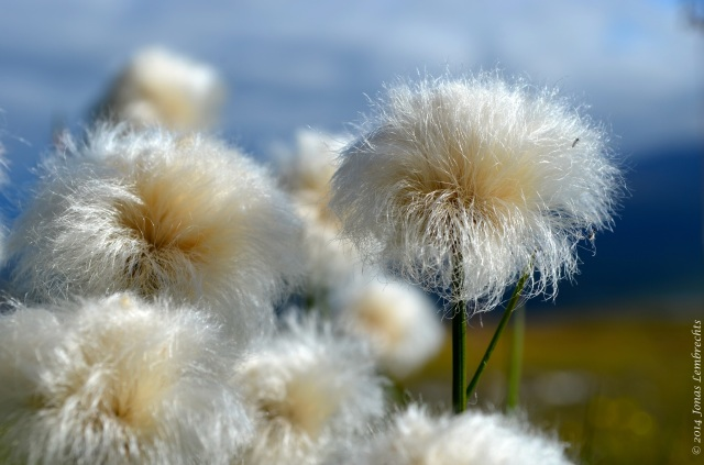Eriophorum heads