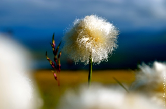 Head of cotton grass (Eriophorum)