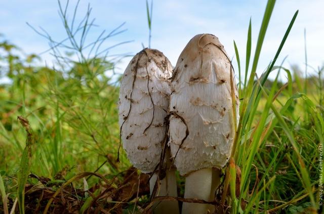 Mushrooms in meadow