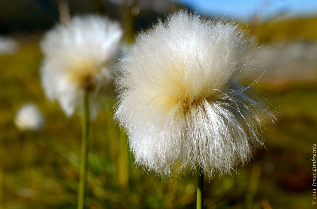 Cotton grass head