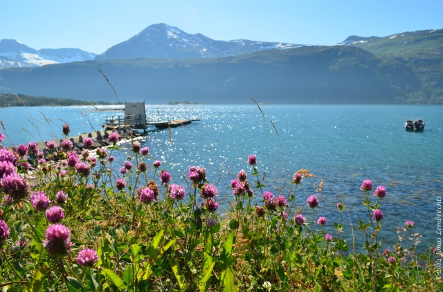 Invasive red clover along a fjord in northern Norway