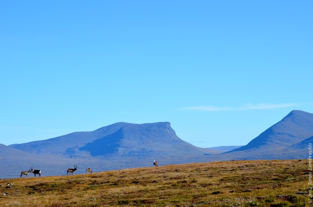 Herd of reindeer in their typical environment: roaming the tundra with the Lapporten mountains in the background