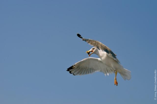 Acrobatic gull catching fish