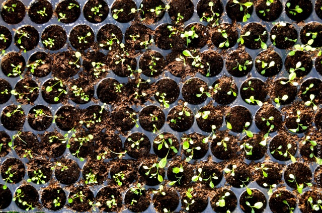 Plant seedlings in plant tray