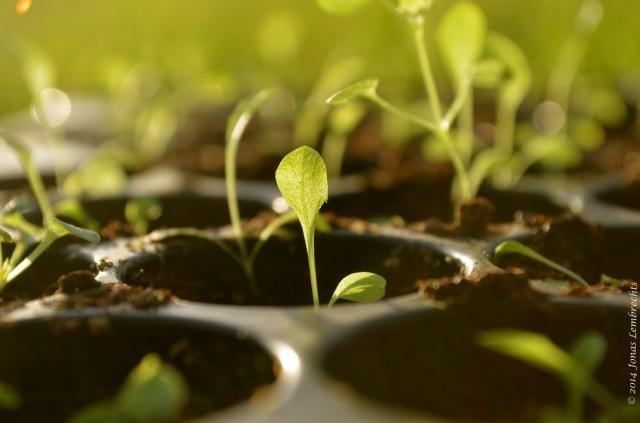 Brave dandelion seedling