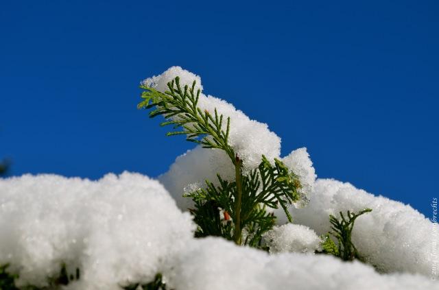 Snowy thuja