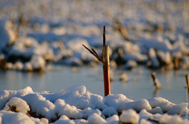 Frozen cornfield