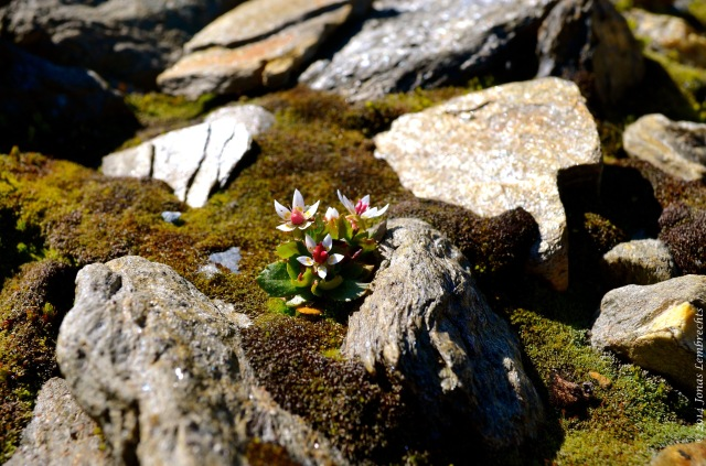 How does this little brave Saxifraga experience its environment? The iButtons will tell!