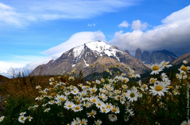 Invasive plants like this chamomile in the Chilean Andes hike surprisingly fast uphill.