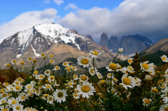 Chamomile in Torres del Paine