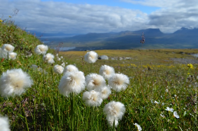 Many mountain plants have a large dispersal potential, as they can rely on the omnipresent winds.
