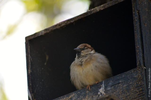 House sparrow in bird house