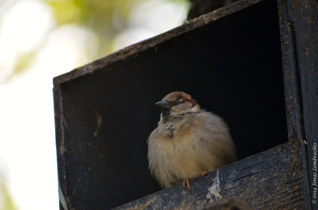 House sparrow in bird house