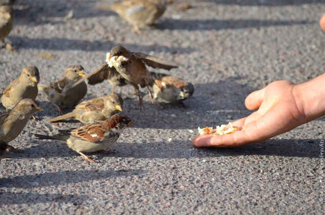 Feeding house sparrows out of hand