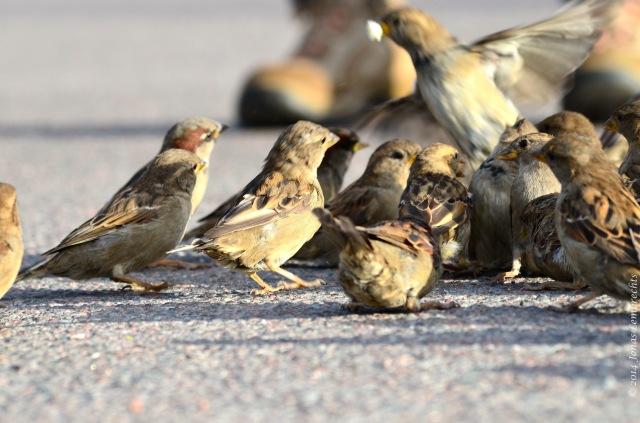 Feeding house sparrows