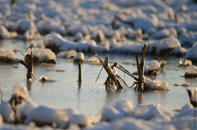 Frozen flooded corn field