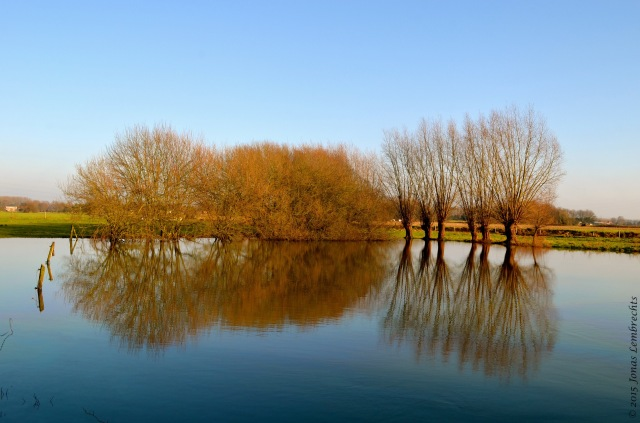 Knotted willows in flooded field