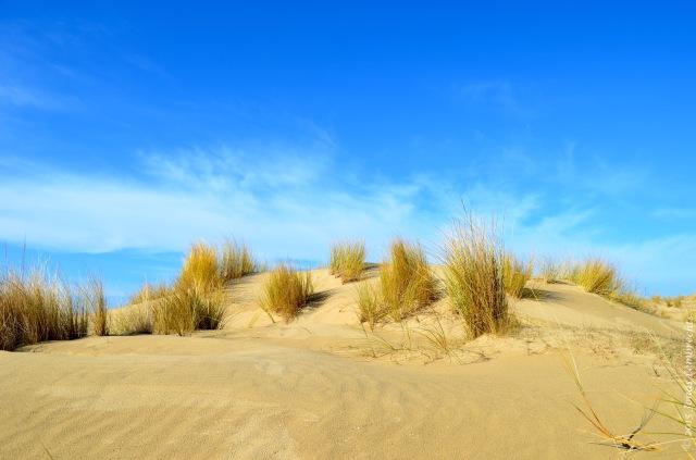 Bray-Dunes, young dunes