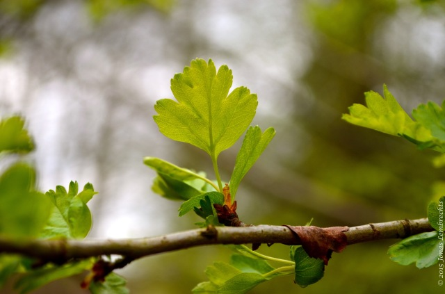 Spring leaves of common hawthorn