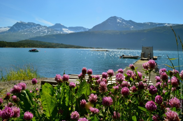Red clover at the warm side of a Norwegian fjord