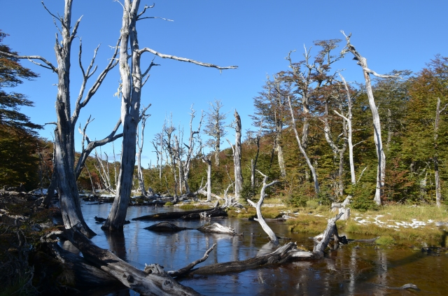 Marsh with dead trees in Nothofagus forest