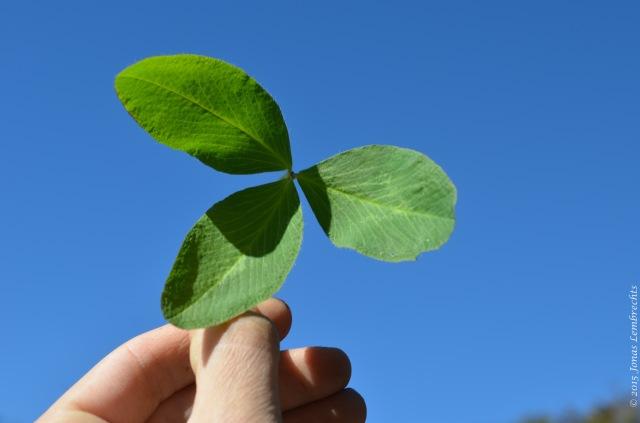 Large leave of Trifolium pratense