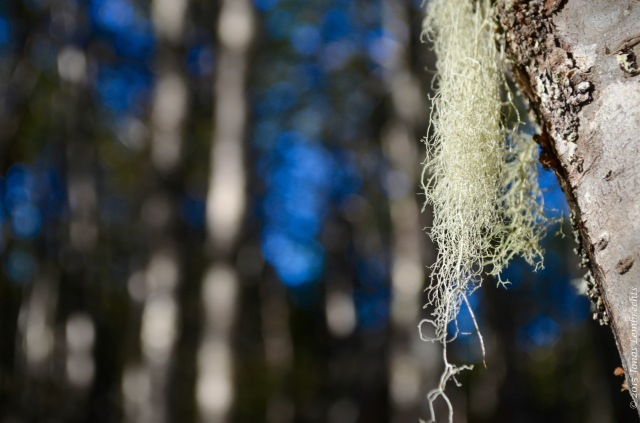 Old Man's Beard lichen, Punta Arenas