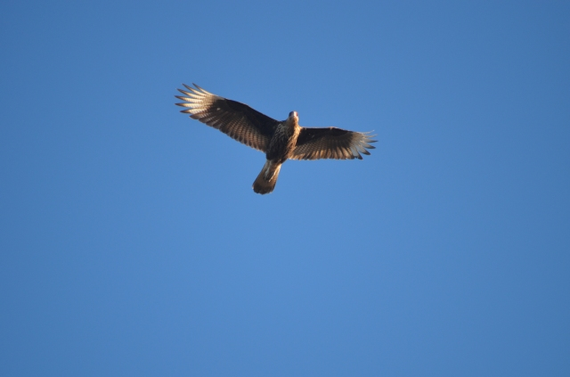 Caracara flying overhead
