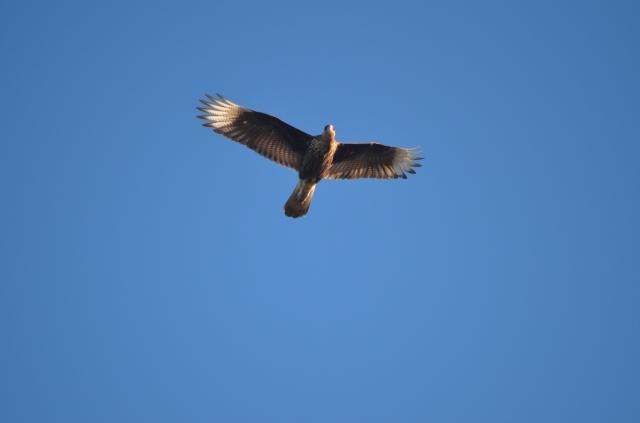 Caracara flying overhead