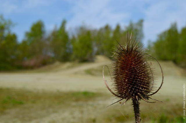 Teasel overlooking the little desert