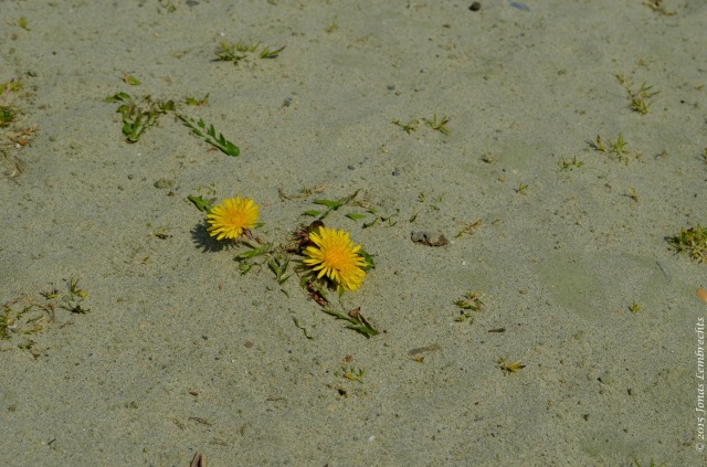 The brave dandelion