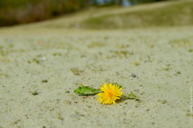 Dandelion in burning sand
