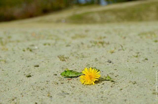 Dandelion in burning sand