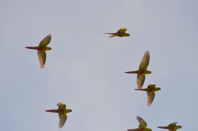 Flock of austral parakeets