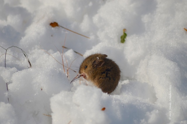 Little mouse in the snow