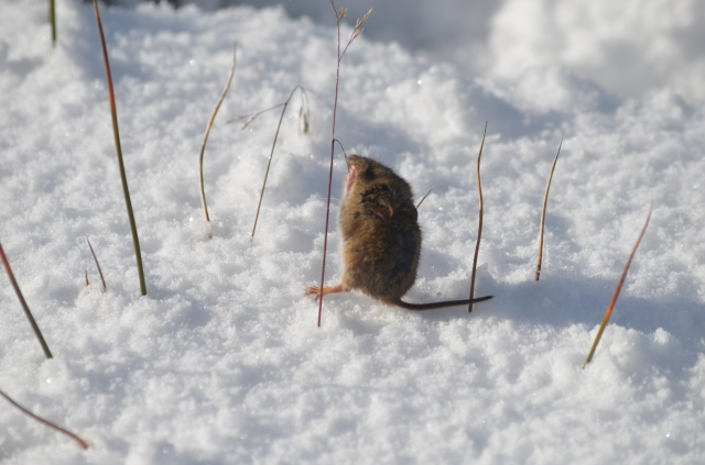 Little mouse in the snow in Punta Arenas