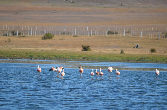 Flamingo's in Punta Arenas